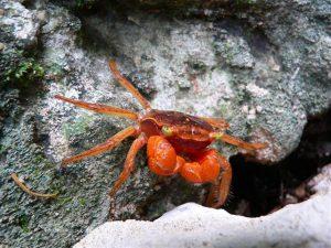 Granchio-Crab_in_Guatemala-Small