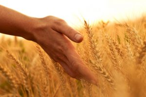 grano guerra del grano