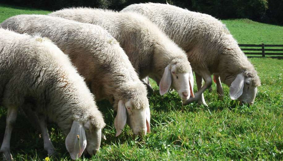 pecore roma raggi