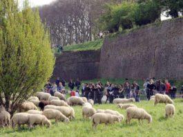 flop raggi pecore roma