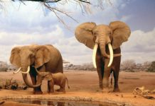 Elefanti, famiglia
