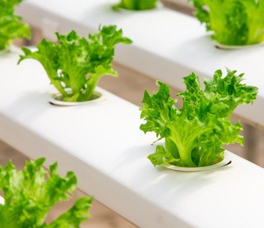 Piante di coltivazione idroponica