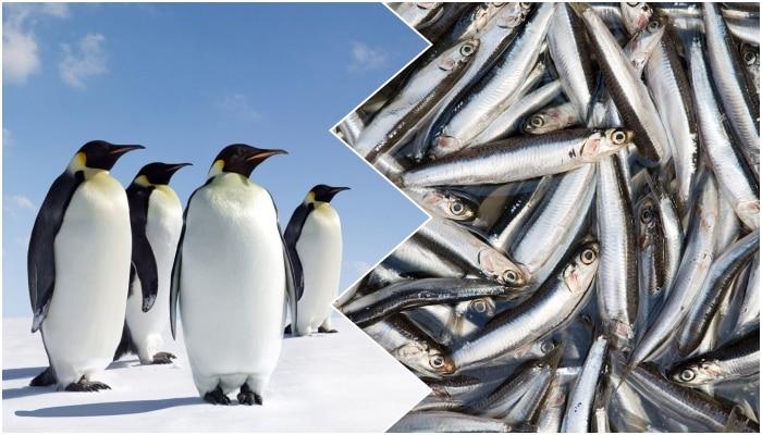 pinguini e sardine
