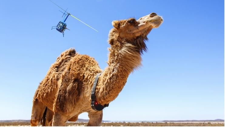 Cammelli in Australia