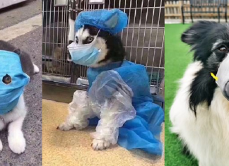 I cinesi mettono le maschere anti coronavirus agli animali