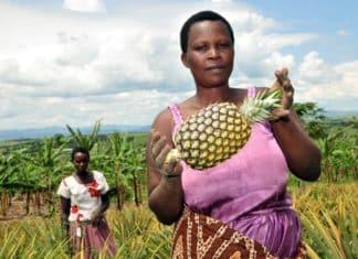 guinea ananas