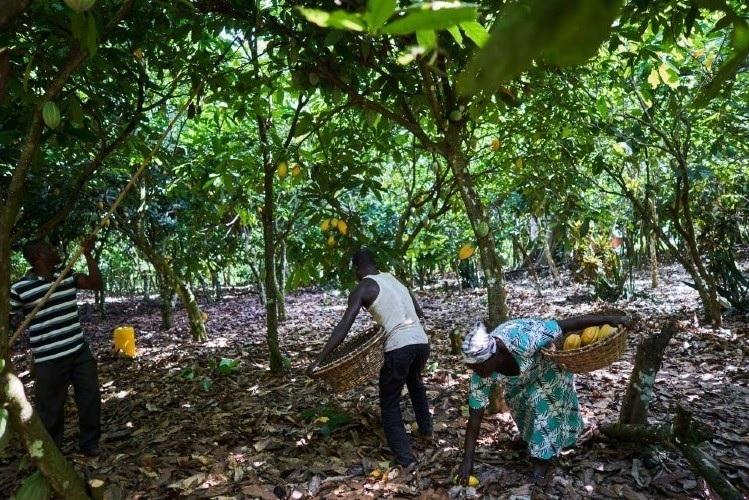 ferrero cacao foreste