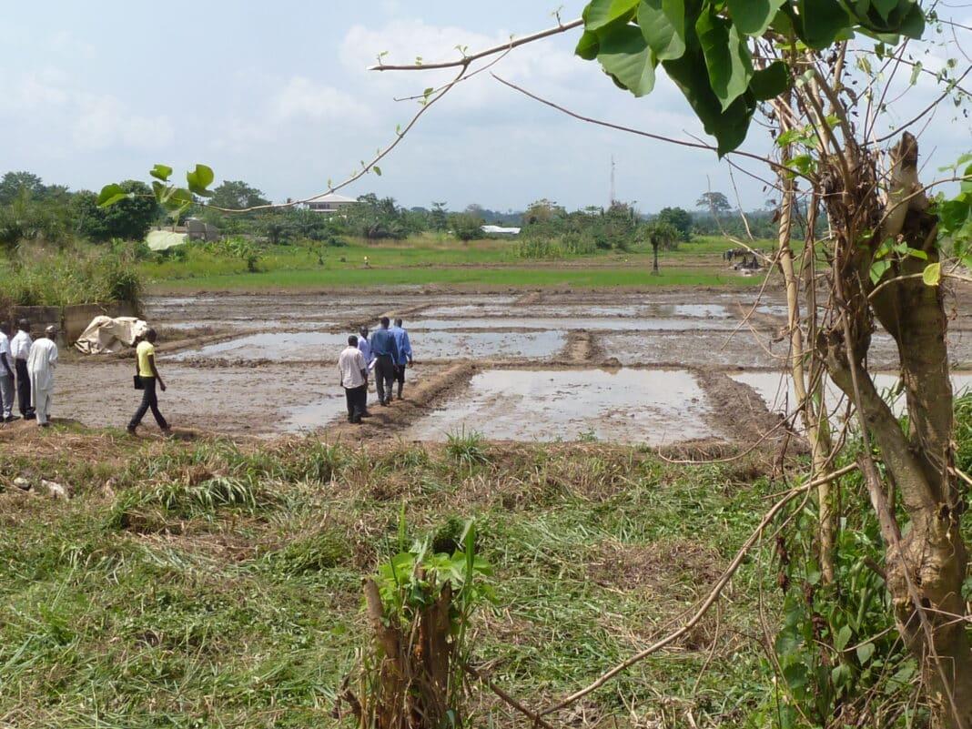 Ghana, riso