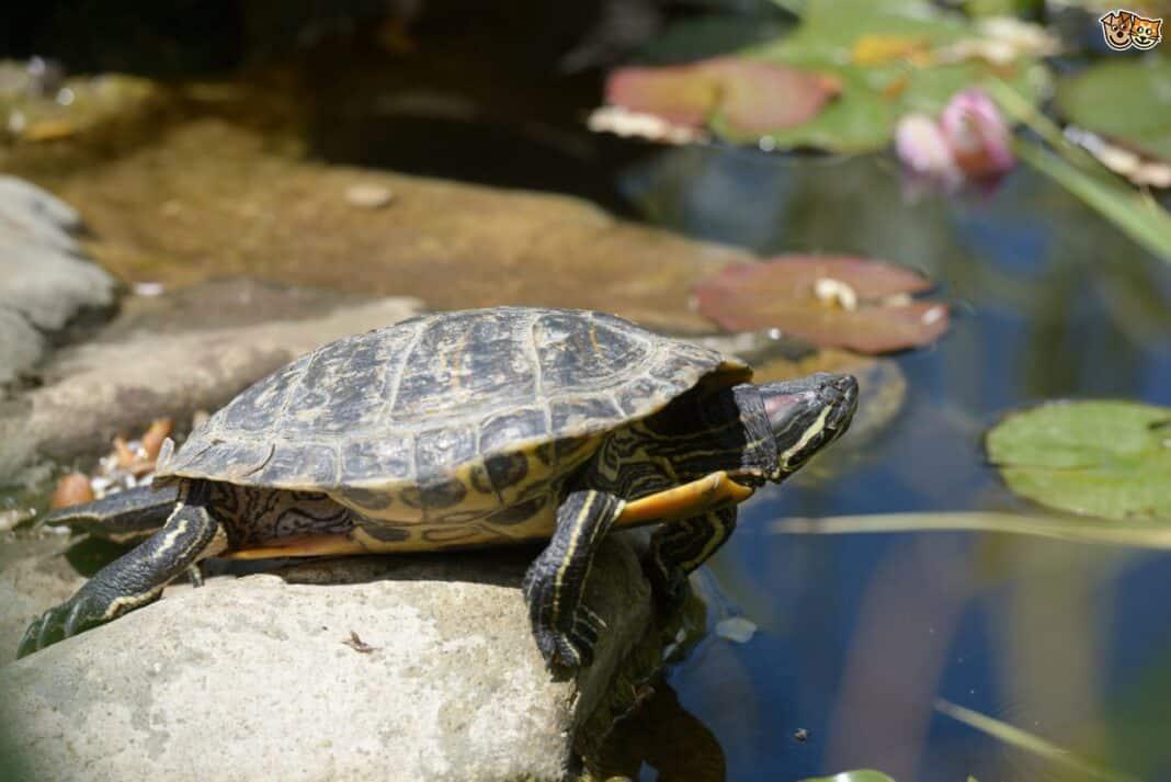 Tartaruga catturata dal gambiano