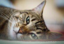 Lyssavirus, gatto