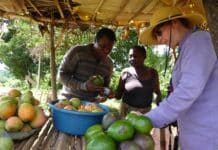 Tanzania, avocado