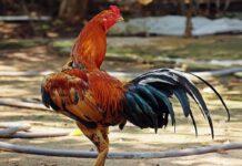 Gallo da combattimento