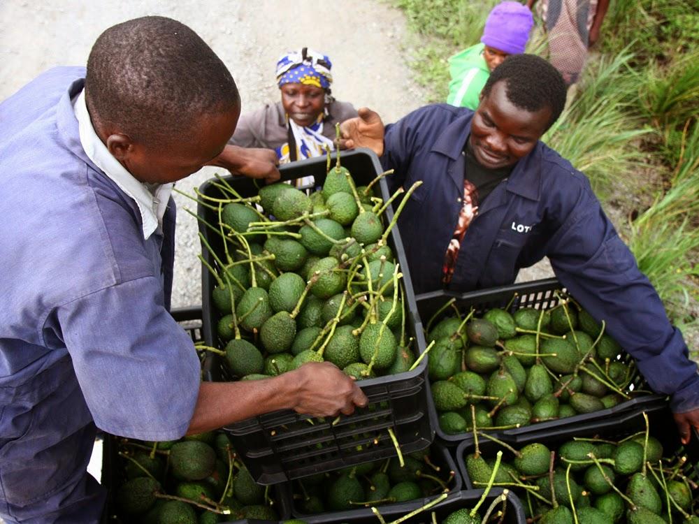 Nigeria, avocado