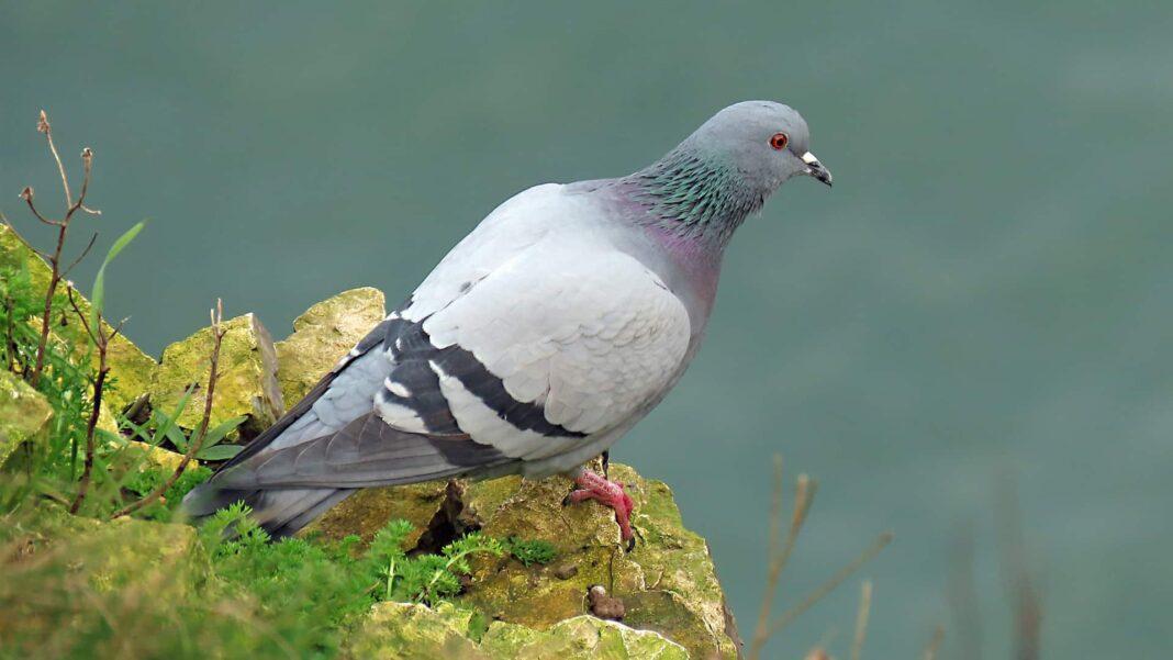 australia piccione joe