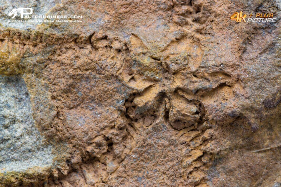 stella marina fossile