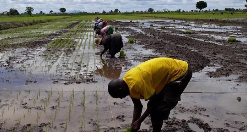 riso tanzania