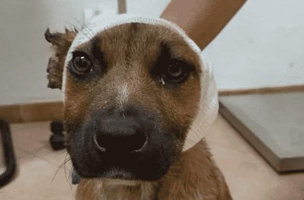 cucciolo forbici orecchie