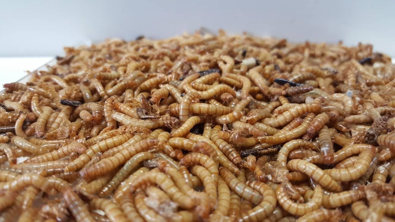 Insetti, ok dell'Ue per le tarme della farina: diventeranno cibo