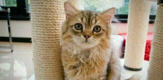 anemia gatto