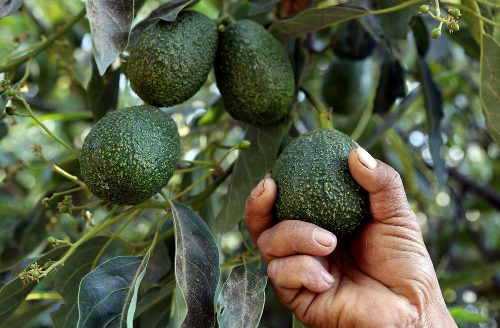 kenya avocado
