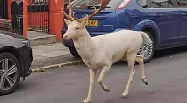 liverpool cervo bianco
